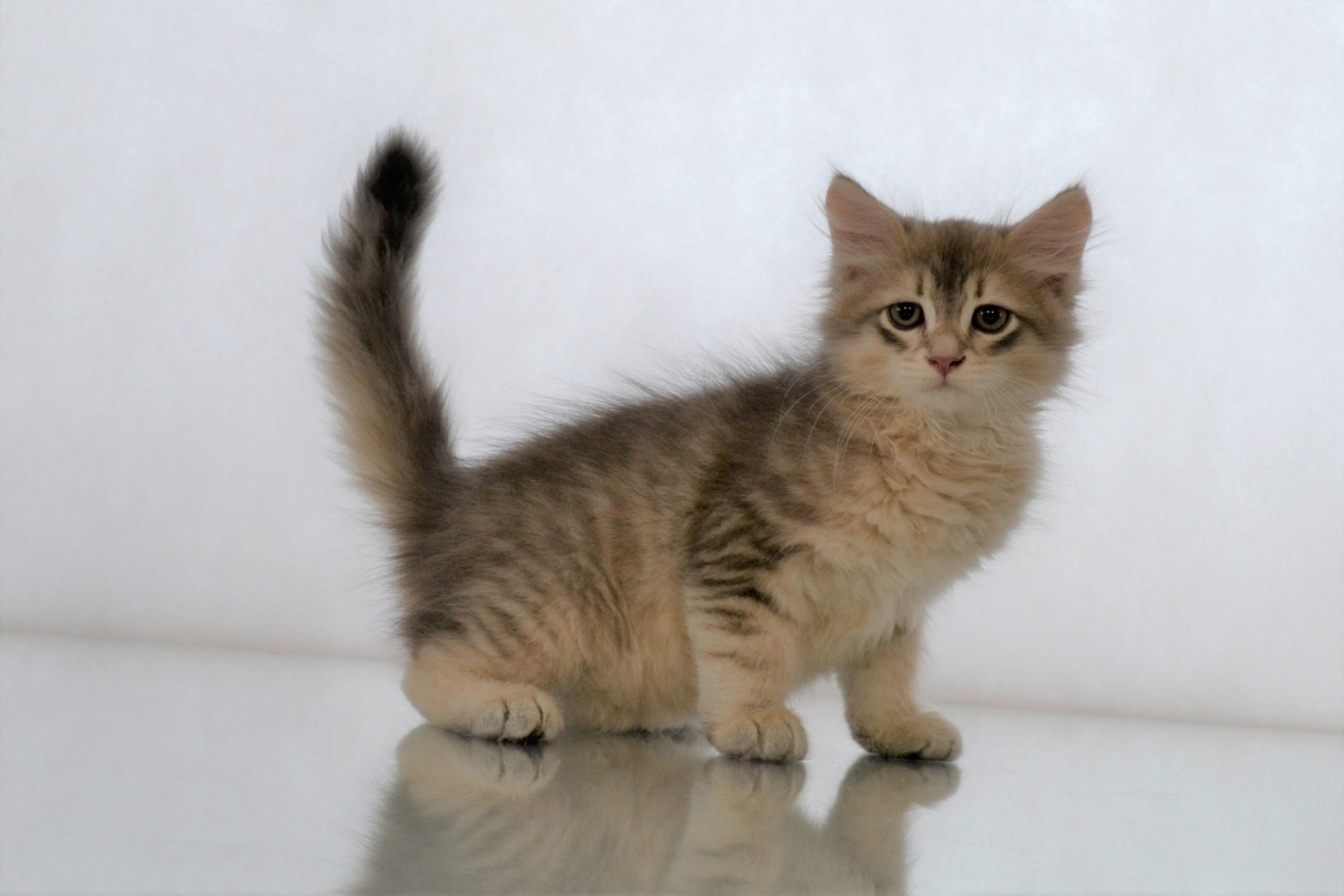 koty-syberyjskie-warszawa