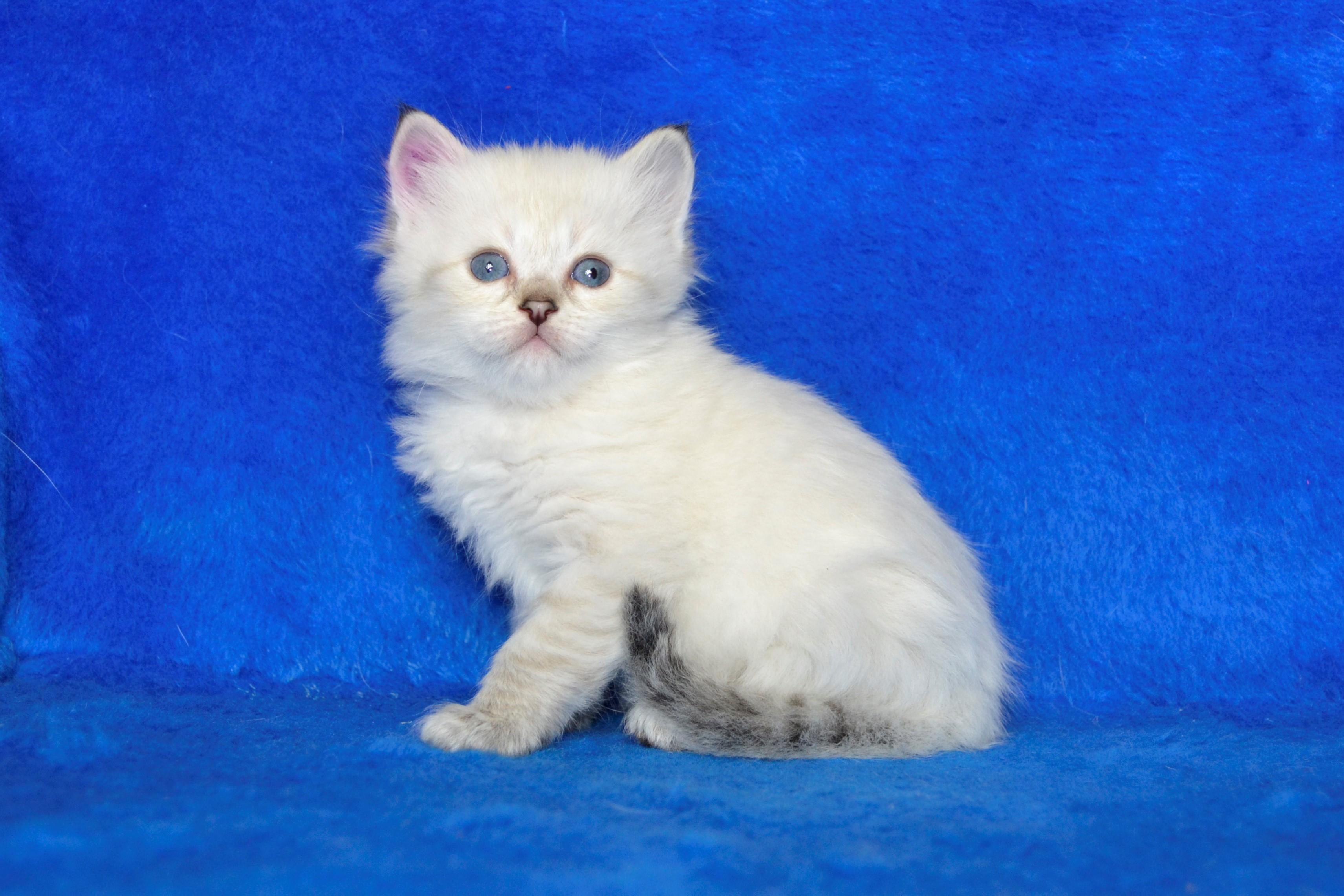 koty-syberyjskie-warszawa-miotv1
