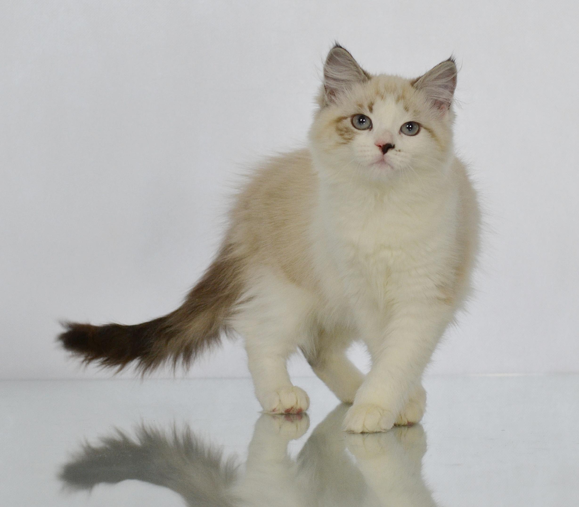 koty-syberyjskie-warszawa-neva-masquarade