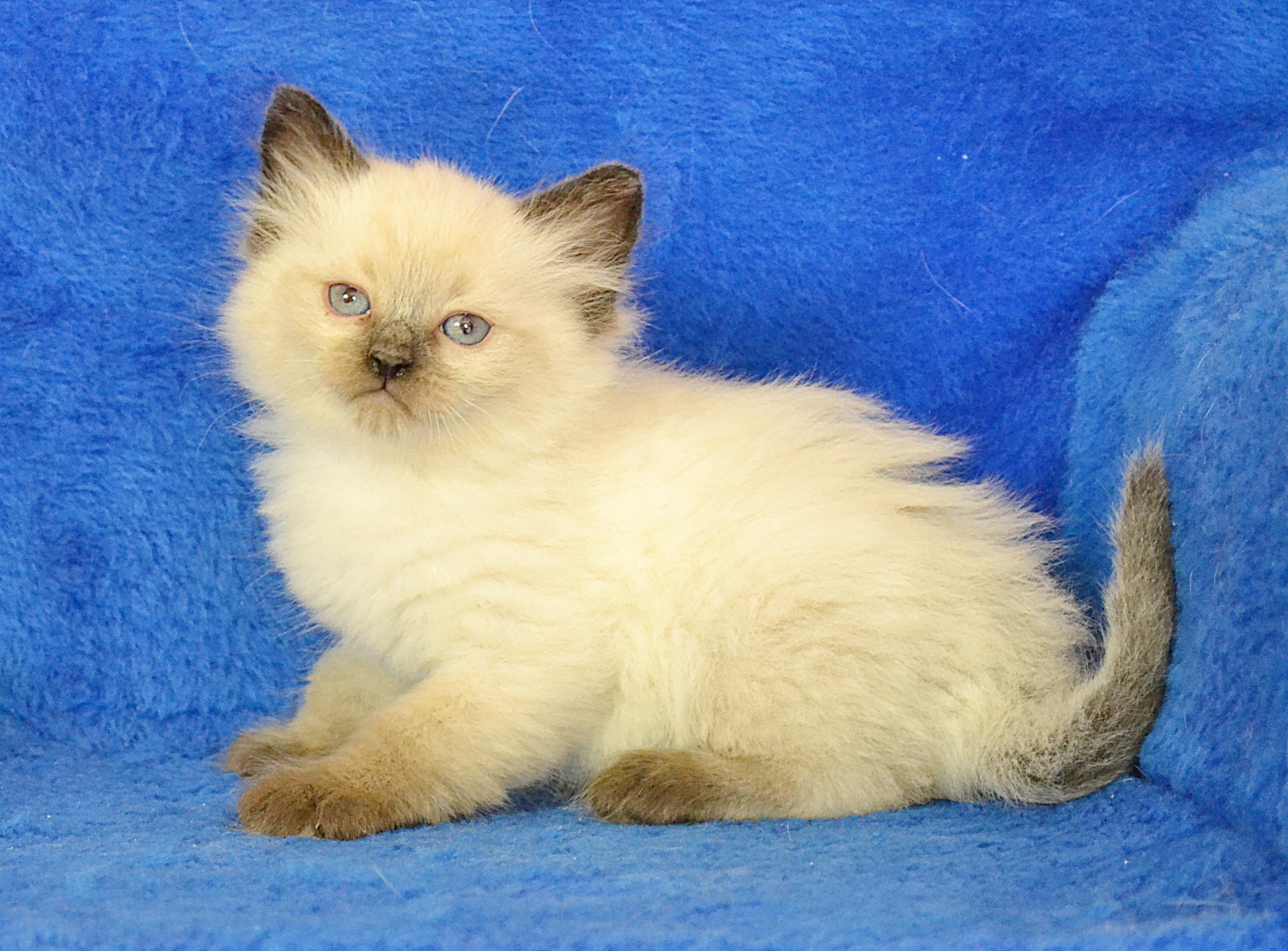 koty-syberyjskie-warszawa-neva