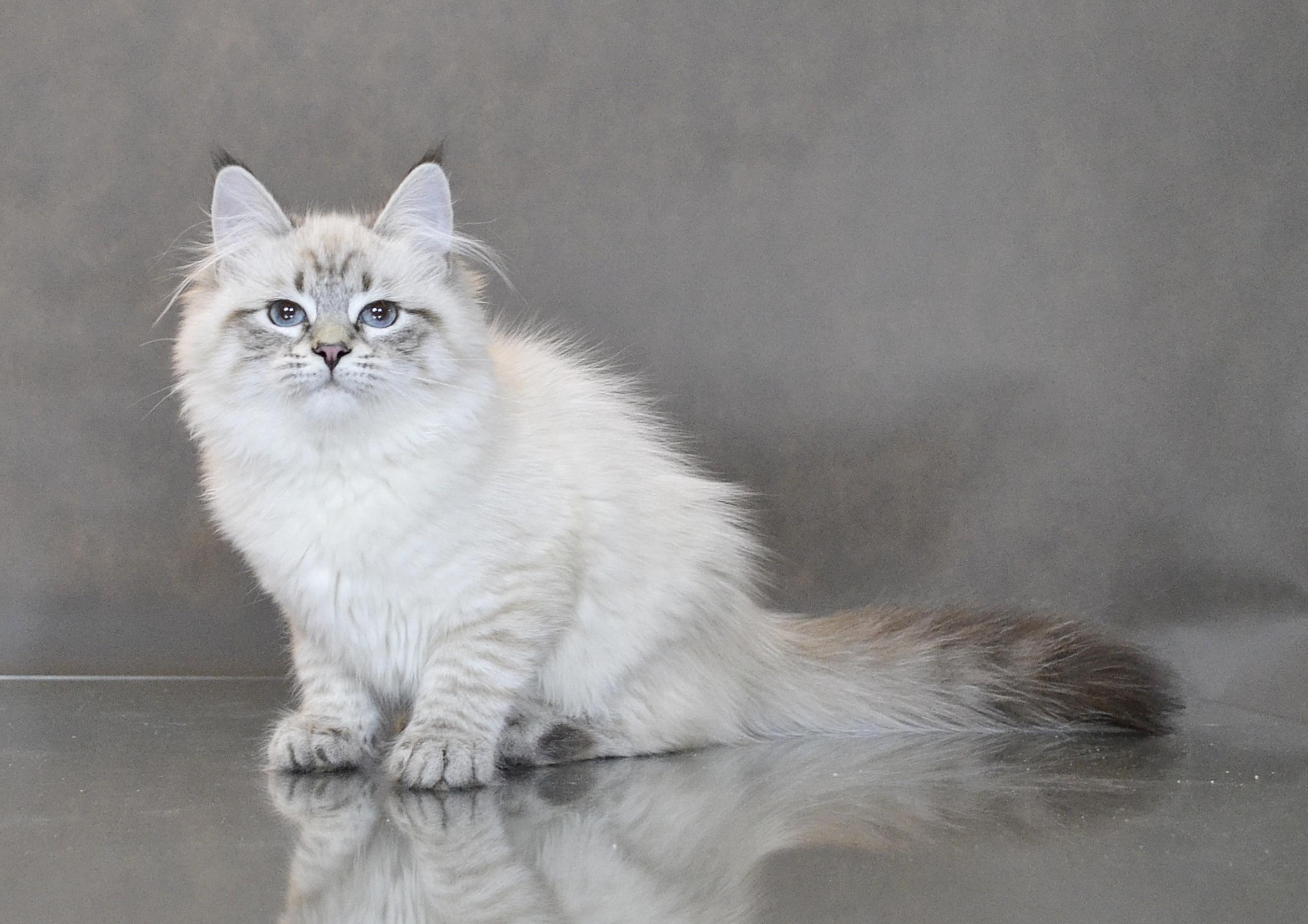 koty-syberyjskie-neva-masquerade-warszawa