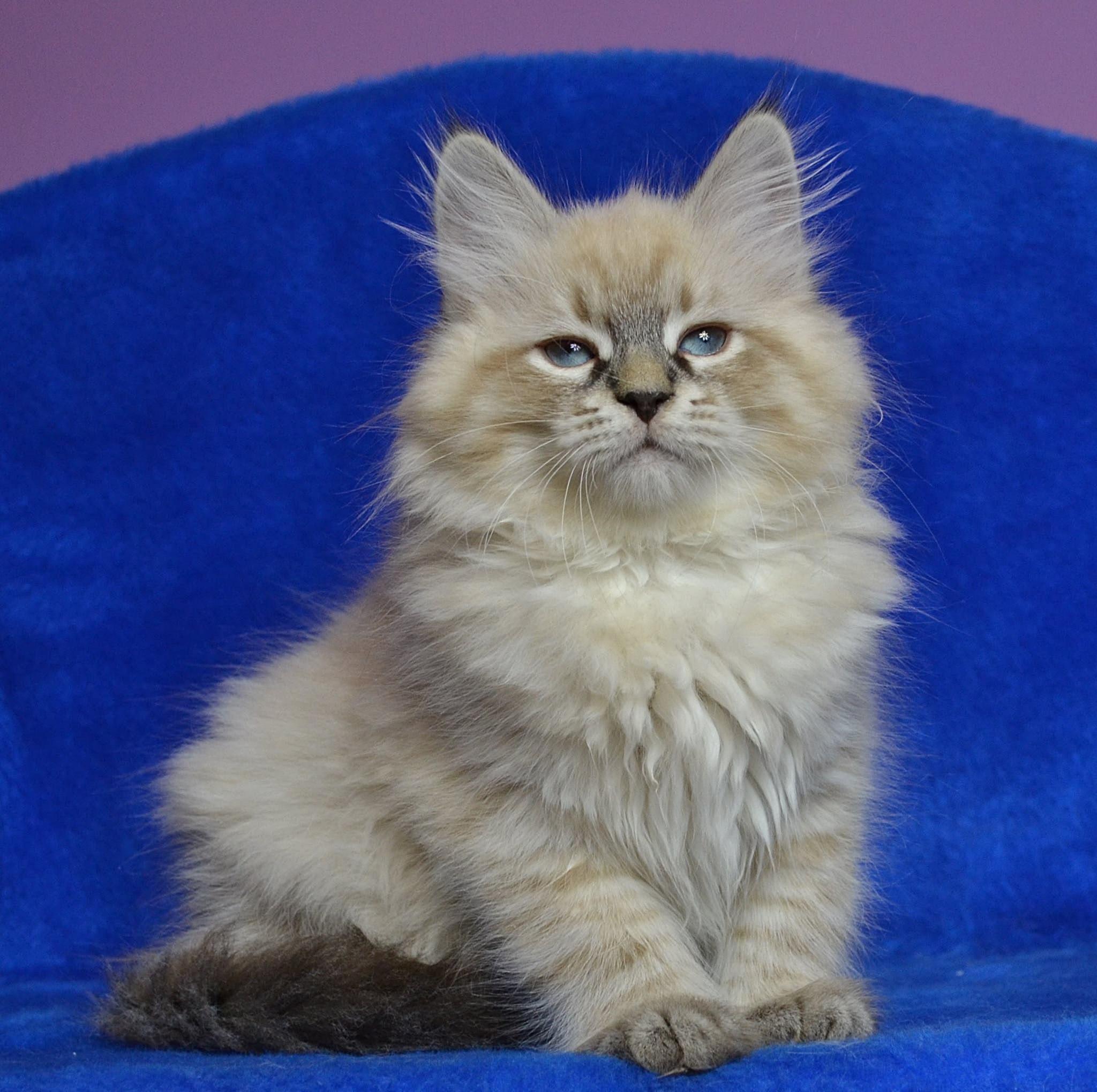 neva-nasquerade-warszawa-koty-syberyjskie