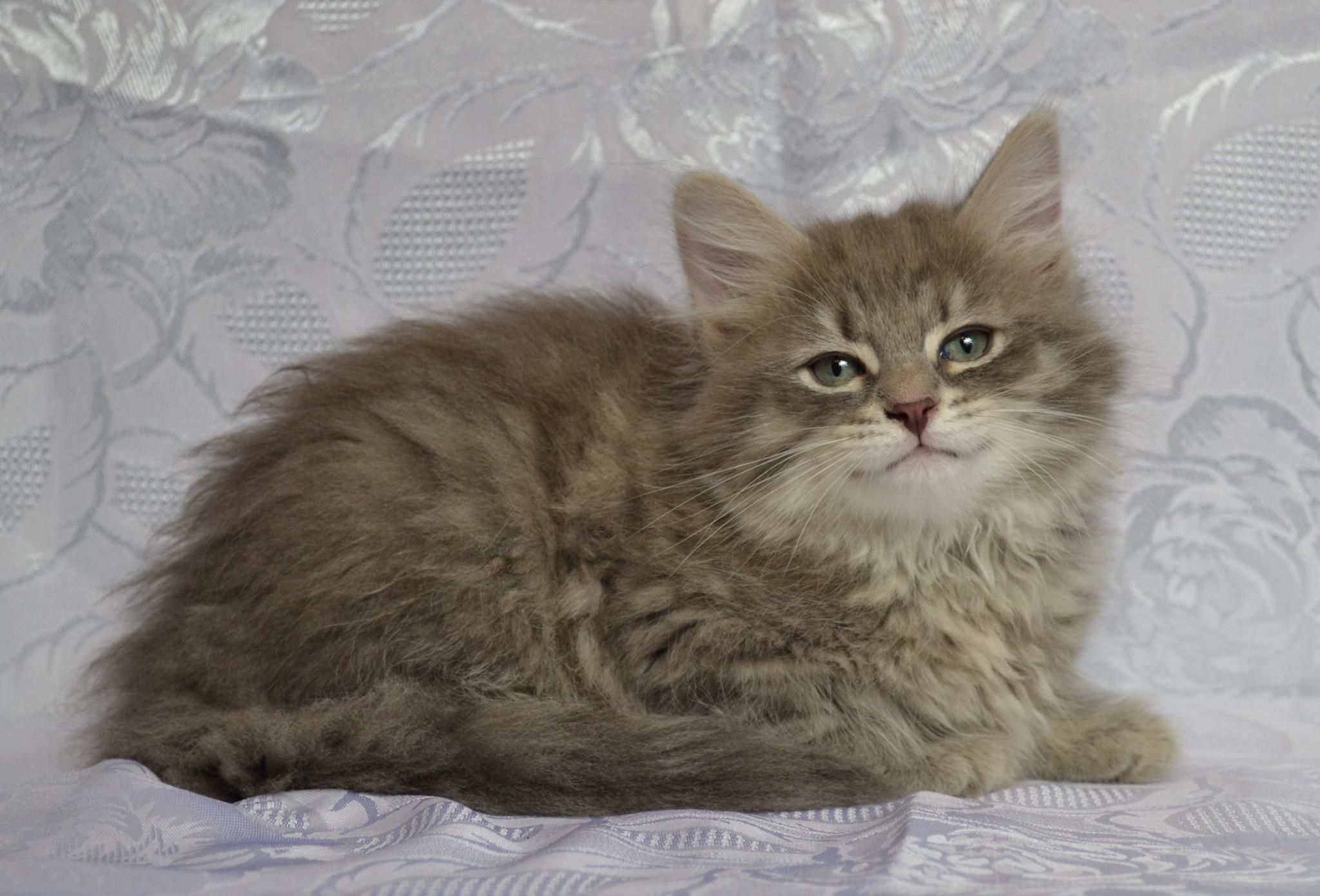 koty-syberyjskie-warszawa-neva-masquerade-hodowla