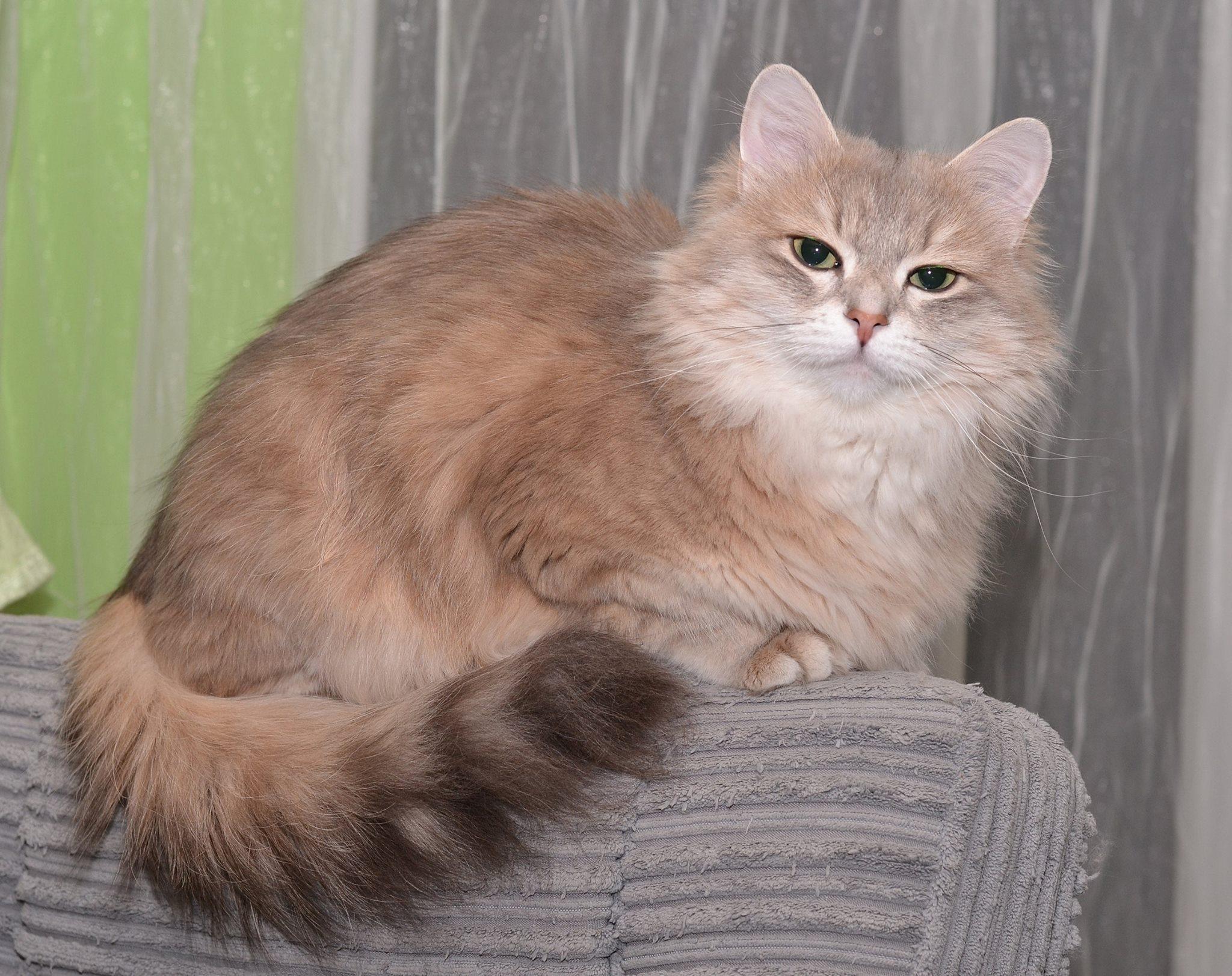 koty-syberyjskie-warszawa-demeter