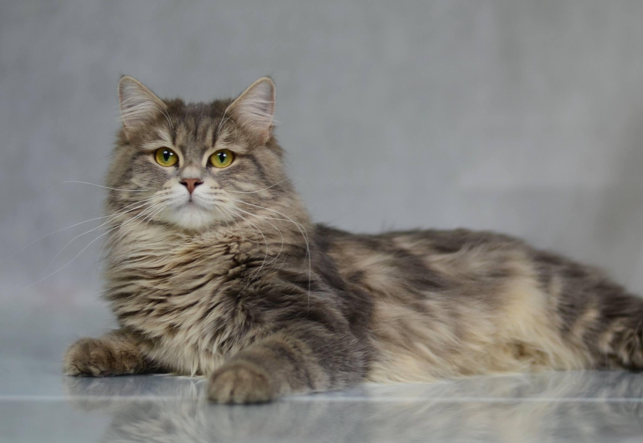 koty-syberyjskie-warszawa-gaya