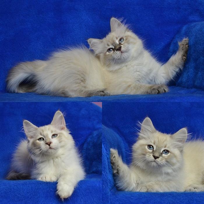 neva-masquerade-warszawa-koty-syberyjskie