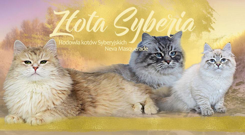 Koty Syberyjskie I Neva Masquerade Warszawa Hodowla Złota Syberia